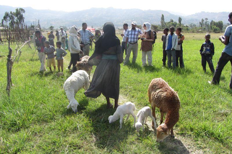 Lampaiden kanssa Etiopia 2014